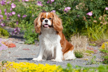 Portrait Of Lovely Cavalier Ki...