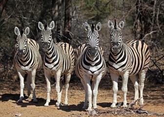 Fototapeta na wymiar Curious zebras