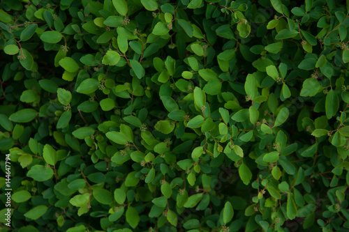 Foto  Green bush background