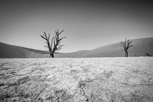 Dead Tree In Sossusvlei In Black And White.