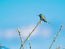 Anna Hummingbird Perched On The Branch