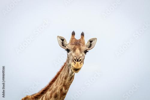 Photo Giraffe looking at the camera.