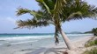 Short coconut palm on Caribbean beach