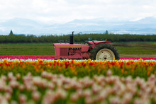 The Pink Tractor At Tulip Fiel...