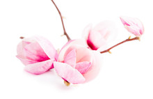 Pair Pink Magnolia Flower