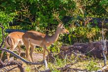 Pair Of Lovely Gazelles