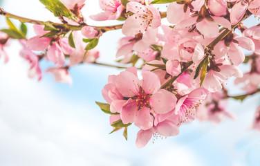 Panel Szklany Podświetlane Kwiaty Весенняя нежность. Китайский персик и голубое весеннее небо
