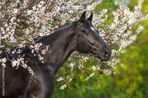 A beautiful black horse  in a bridle stands opposite a blossoming apricot tree Poster