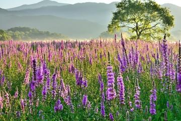 Fototapeta 湖畔の花園・高原の夏花