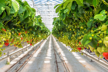 Overview Of Ripening Strawberries Grown Without Soil In Modern Dutch Horticulture Business