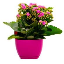 Pink Kalanchoe Flower In A Pot...