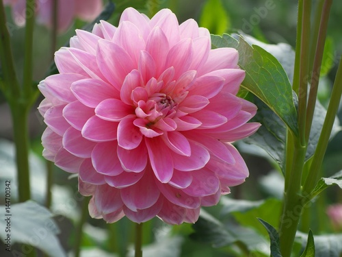 In de dag Dahlia Pink dahlia Flower on the natural background, closeup photo