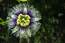 The Passion Fruit Flower Close...