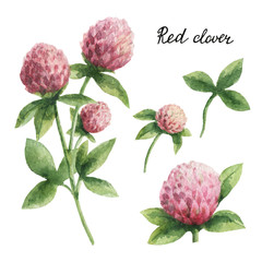 Fototapeta Przyprawy Hand drawn watercolor botanical illustration of Red clover.