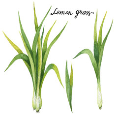 Fototapeta Przyprawy Hand drawn watercolor botanical illustration of Lemon grass.