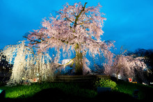 Night View Of The Famous Maruyama Park In Kyoto, Japan And Blossoms Of A Giant Sakura Tree In Kyoto Japan. Beautiful Pink Cherry Blossoms At Nightfall In Kyoto