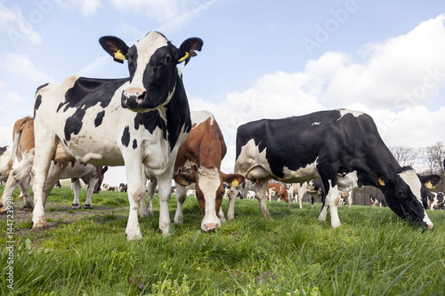 Aluminium Prints Cow herd of holstein cows in dutch meadow in spring with willows in the background