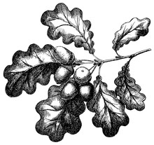 Vector Engraving Illustration Of Hand Drawn Acorn On Oak Branch Isolated