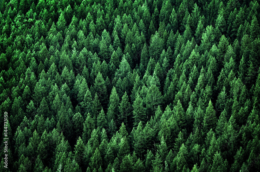 Fototapety, obrazy: Forest of Pine Trees in Wilderness Mountains