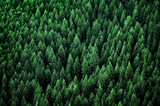 Forest of Pine Trees in Wilderness Mountains - 144733150