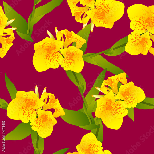 yellow-canna-indica-canna-lily-indian-shot-on-margenta