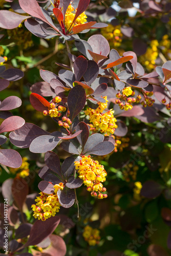 Berberis plant in flower - also know as Barberry Bush. Wallpaper Mural