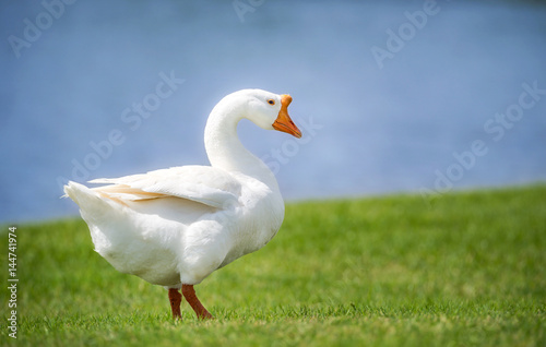 White Chinese Goose also known as Swan Goose (Anser cygnoides) strolling through Fototapet