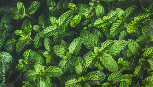 Obraz Fresh green pepper mint leaves texture, background and wallpaper, horizontal composition - fototapety do salonu