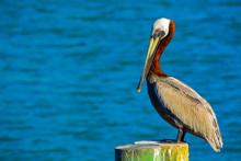 A Brown Pelican (Pelecanus Occ...