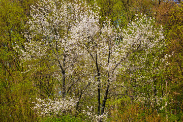 FototapetaWild cherry trees in a beech forest
