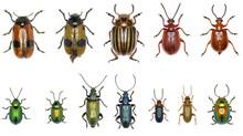Set Of Leaf-beetles Of Europe ...