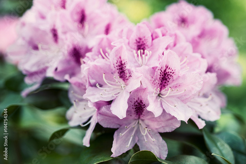 Tuinposter Azalea Flower Pink Rhododendron close-up