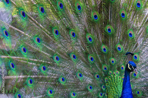 Foto op Aluminium Pauw Portrait of beautiful peacock with feathers out