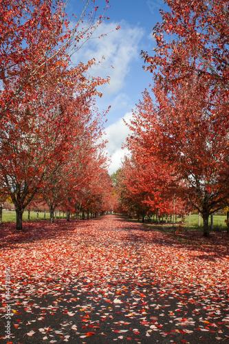 Keuken foto achterwand Rood traf. Fall Leaves