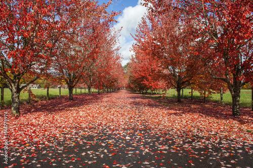 Keuken foto achterwand Rood traf. Autumn Leaves