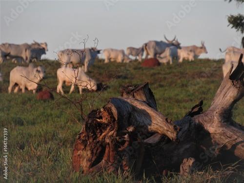 Fotografie, Obraz  O tronco no pasto.