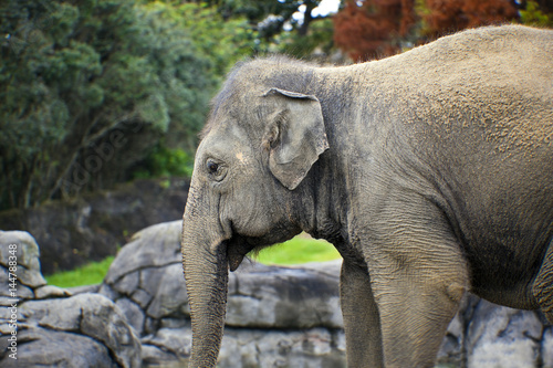 Canvas Prints Elephant Female elephant (lephus maximus vilaliya).