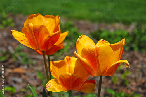 Fotografie, Obraz  three bright orange tulips