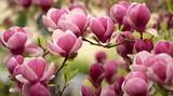 Fototapeta Do pokoju - magnolia