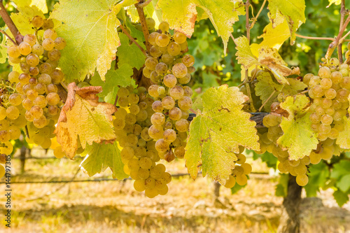 Door stickers Vineyard bunches of ripe Sauvignon Blanc grapes in vineyard