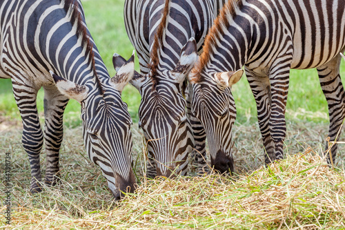 close-up-zebras-grazing-grass-with-blurred-background-in-zoo