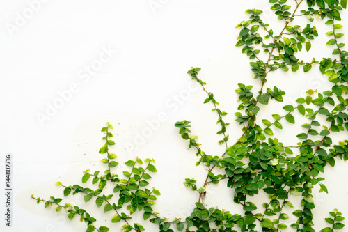 white wall with ivy plant
