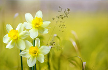 Three Flower Daffodils In Spri...