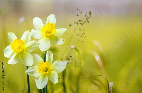 Three flower daffodils in spring outdoors on a meadow in the grass in the sun close-up on  light green background. Beautiful spring pattern for design. Delicate artistic image.