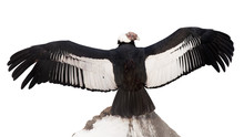 Andean Condor.  Isolated Over White