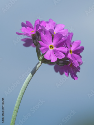 Valokuvatapetti Rounded clusters on top of a powdery stem of Bird's eye primose (Primula farinos