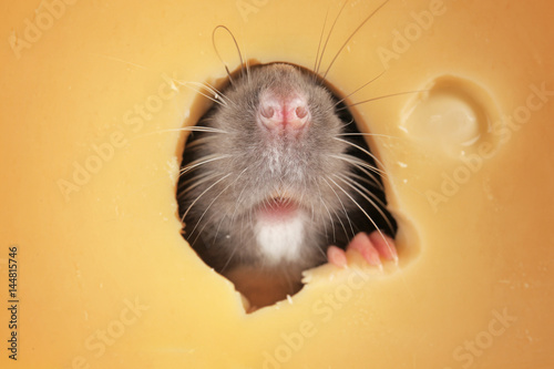 Cute funny rat looking out of hole in cheese, closeup