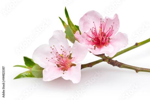 Photo  Almond flowers