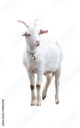 White goat with bell. Isolated.