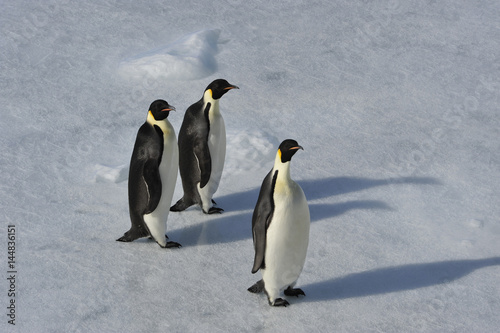 Papiers peints Pingouin Emperor Penguin on the snow